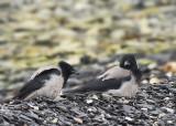 Carrion Crow (Kråka)