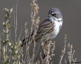 Sage Sparrow