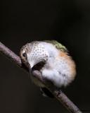 hummingbirds_2013