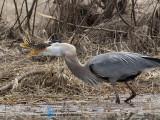 oiseaux de rivages echassiers