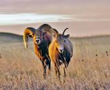 Pair of Bighorns