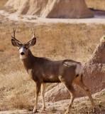 Muledeer Buck