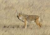 Custer Coyote