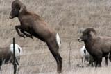 Bighorns 1772a.jpg