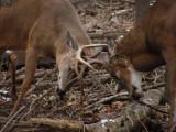 Buck Fights