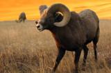 Bighorn in Rut