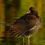 gallinules_-_foulques