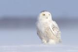 harfangs_des_neiges__snowy_owls