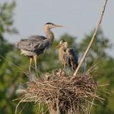 grands_herons_aigrettes__great_blue_heron_egrets