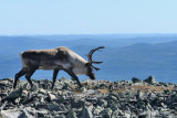 orignaux_moose___caribous