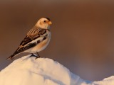 bruants_des_neiges__snow_buntin