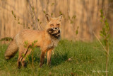 renards_roux_-_red_foxes