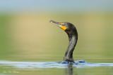 cormorans__double_crested_cormo