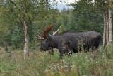 orignaux_moose