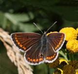 Rödfläckig blåvinge, (Aricia agestis), female