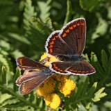 Rödfläckig blåvinge, (Aricia agestis), try to mate