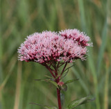 Hampflockel, (Eupatorium cannabinum)