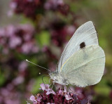 Kålfjäril, (Pieris brassicae)