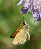 Mindre tåtelsmygare, (Thymelicus lineola)