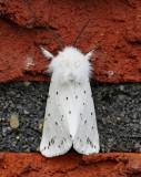 Prickig tigerspinnare, (Spilosoma lubricipeda)