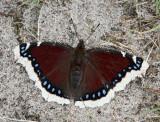 Sorgmantel, (Nymphalis antiopa)