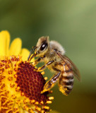 Bees and other Hymenoptera