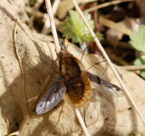 Large Bee Fly, (Bombylius major)