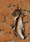Pilporslinsvinge, (Pheosia tremulax)