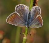 Puktörneblåvinge, (Polyommatus icarus), female