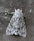 Lönnaftonfly, (Acronicta aceris)