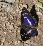 Sälgskimmerfjäril, (Apatura iris)