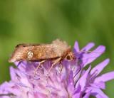 Ängsstamfly, (Amphipoea fucosa)