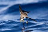 Birding in Madeira