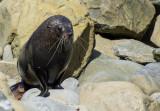 7 December 2013 - Fur Seal - Kaikoura Coastline