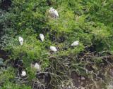 Royal Spoonbill nesting area