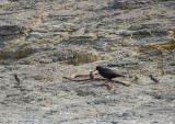 Oyster catcher and chicks