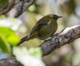 Bellbird - male