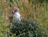 Yellow Eyed Penguin waiting by the nest