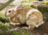City Rabbit