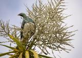 Wood Pigeon Feeds on Cabbage Tree Fruit