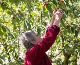 Arya picks some cherries near Blenheim