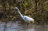 White Heron, Kotuku - Pakiri Creek near Leigh
