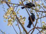 2 Tui's and spring blossom