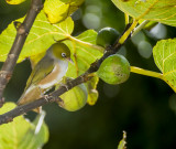 The waxeyes discover our fig tree