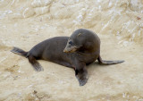 Another Fur Seal