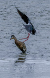 Piss off Dude, not welcome here, so says the oyster catcher to the duck