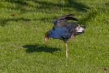 The Pukeko balances on one leg while raising one wing
