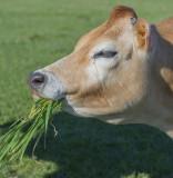 Mmmhhh - green grass is good!