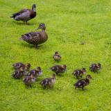 Donald and Daisy bring Huey, Duey, Luey, Phuey, Guey, Buey, Zuey, Xuey, Wuey and Vuey to visit
