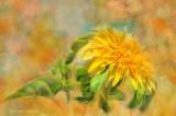 Shaggy Sunflower